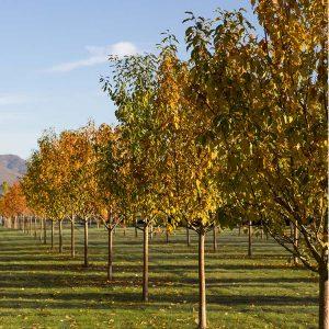 Deciduous Trees For Sale Otisville Mi