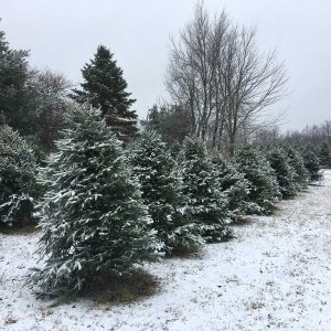 best-christmas-trees-in-michigan