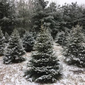 best-christmas-trees-in-michigan2