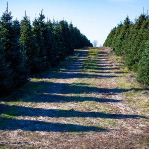 christmas-tree-farm-orisville-michigan