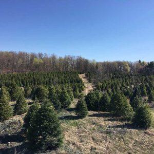 michigans-best-christmas-tree-farm-northwoods-otisville