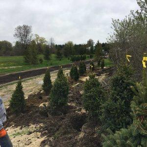 planting-christmas-trees-in-otisville