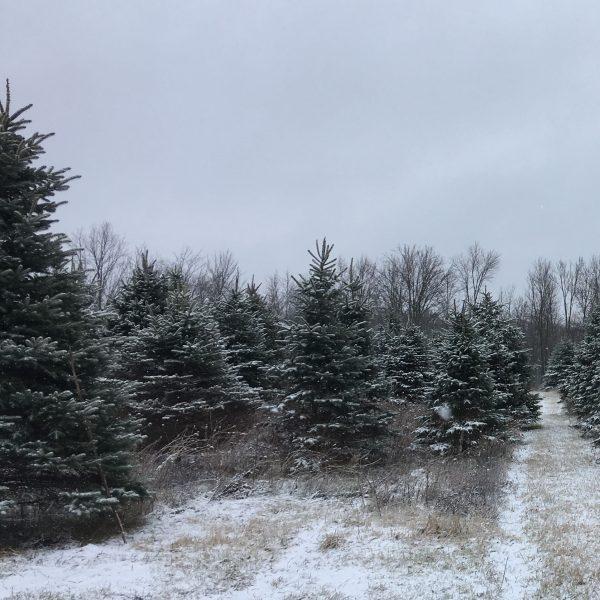 Fraser Fir Christmas Trees