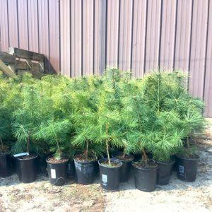 White Pine For Sale