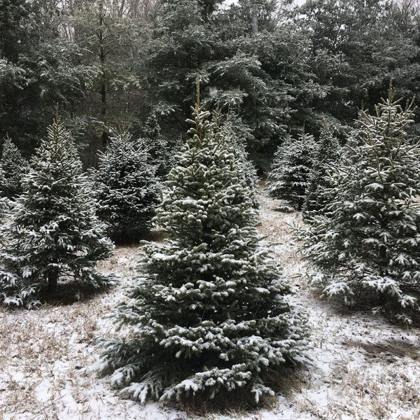Black Hills Spruce Christmas Tree Pre-Cut
