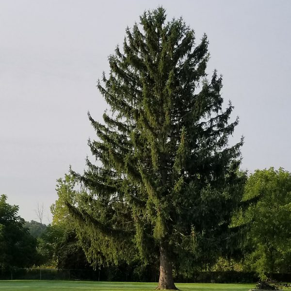 Norway Spruce Mature