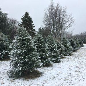 Christmas Tree Pre-Cut/U-cut, Live Christmas Trees