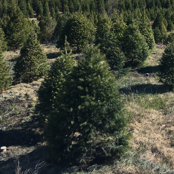 Scotch pine Christmas Tree Pre-Cut