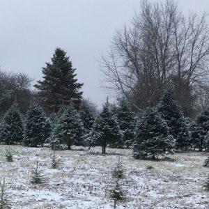 Concolor Fir Christmas Trees, U-cut or Pre-Cut